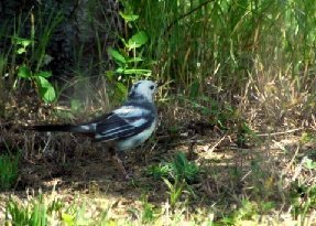 Mockingbird albino 1