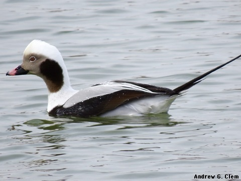 Long-tailed Duck, male