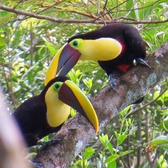 Chestnut-Mandibled Toucans