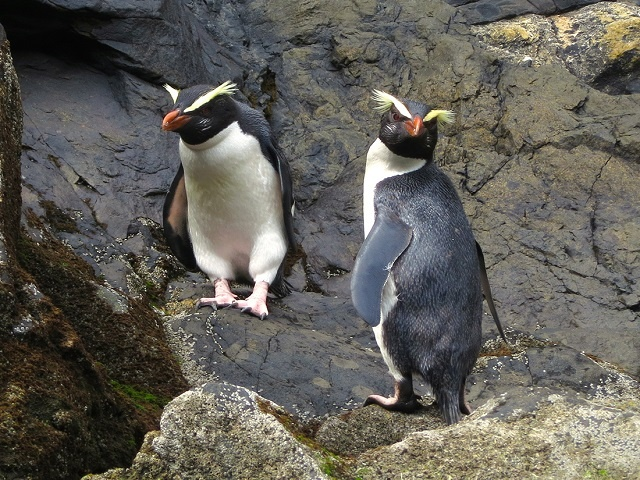 Fiordland Penguins