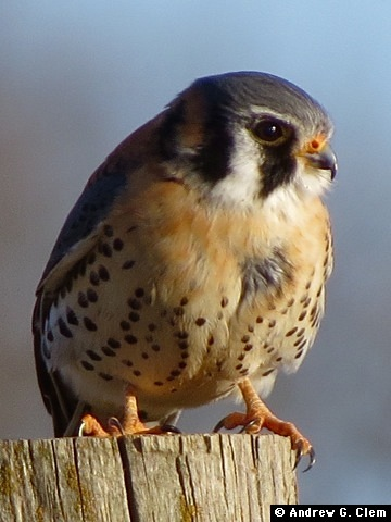 American Kestrel Jan 2018