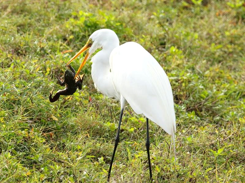 Great Egret, frog