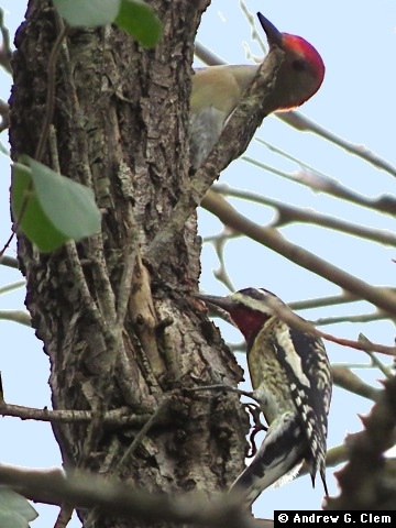 Red-belliedWoodpecker,Yellow-belliedSapsucker